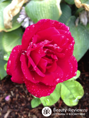 rose256